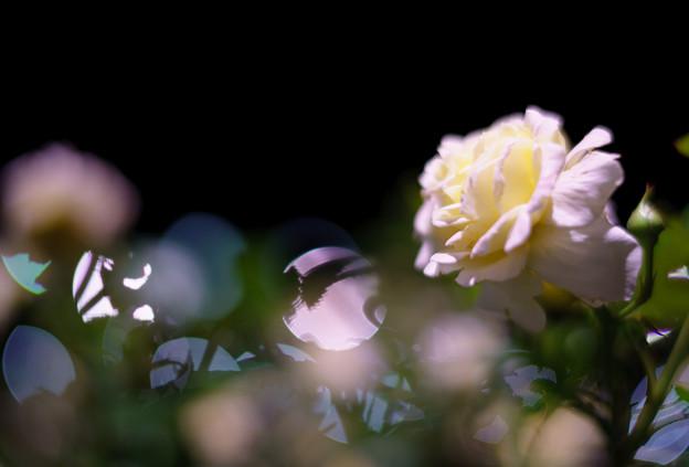写真: 夜薔薇-09431