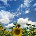 写真: ひまわり15_2-03073