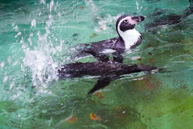 ペンギンDSC09107_ed