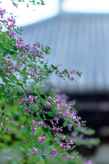 唐招提寺萩-02413