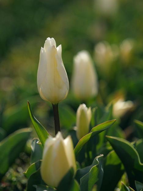 Tulip_P1011441_ed