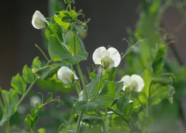 豆の花P1013599_ed