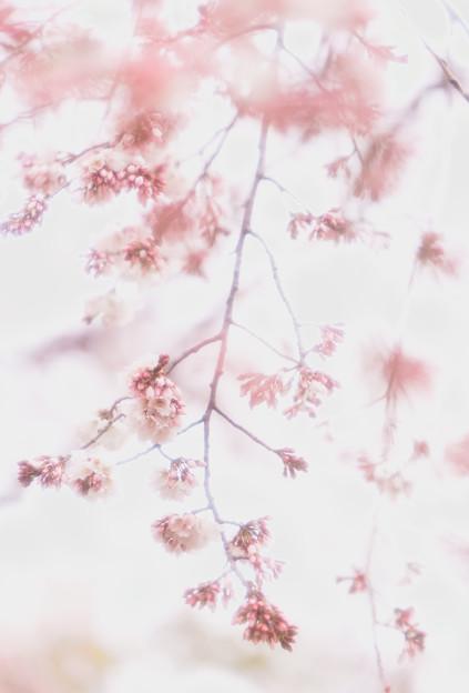 彼岸枝垂桜85softn-05243