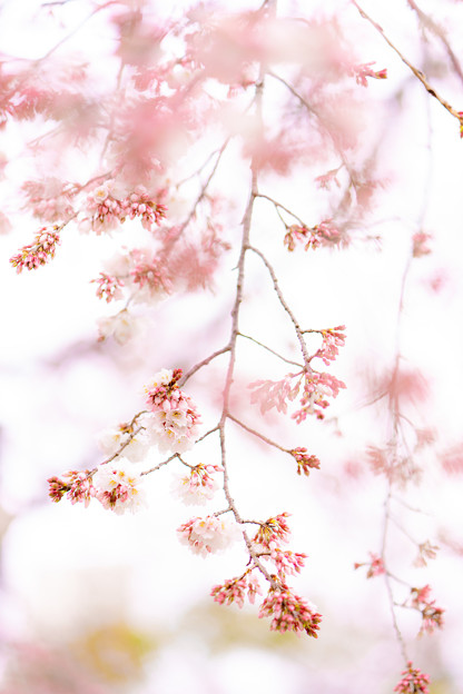 彼岸枝垂桜-05227