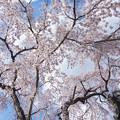 Photos: 天野山枝垂桜DSC07274_ed