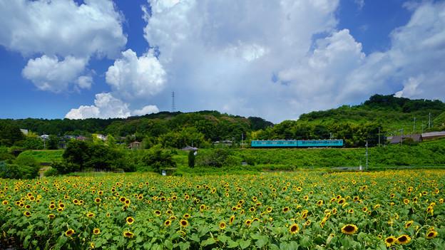 Photos: ヒマワリ五條-1-08637