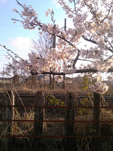 桜に枕木柵&鉄路
