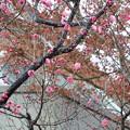 写真: 一足早く紅梅が開花 vol.2