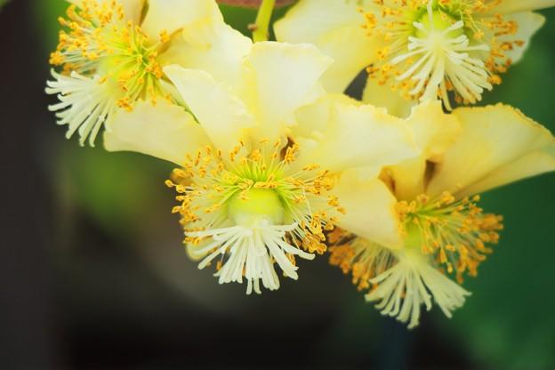 キューイの花