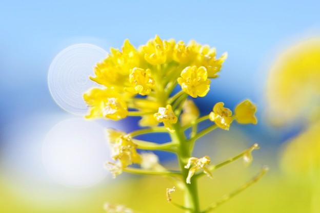 今年最初の、春の華を・・・菜の花