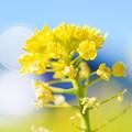 写真: 今年最初の、春の華を・・・菜の花