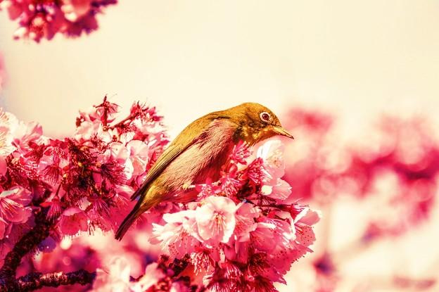 春の夢・・・朧げに咲く