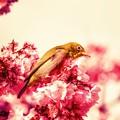 写真: 春の夢・・・朧げに咲く