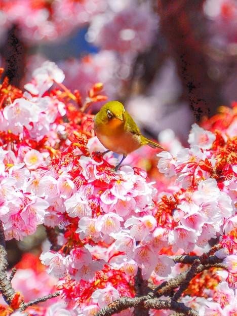 冬が厳しい程に・・・春の花は美しい