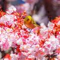 写真: 冬が厳しい程に・・・春の花は美しい