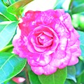 写真: TUBAKI咲く、春なのに・・・