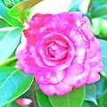 Photos: TUBAKI咲く、春なのに・・・