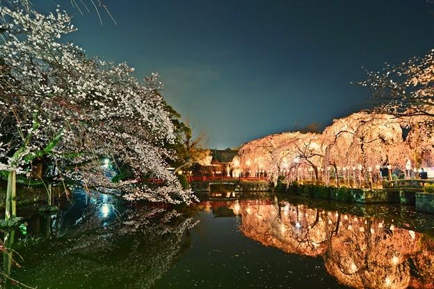 写真: 三嶋大社の夜桜が恋しくて ~神池鏡面~