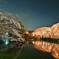 三嶋大社の夜桜が恋しくて ~神池鏡面~