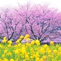 Photos: 桜color・・・また逢えるから