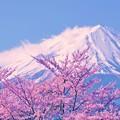 写真: 富士には桜が良く似合う・・・