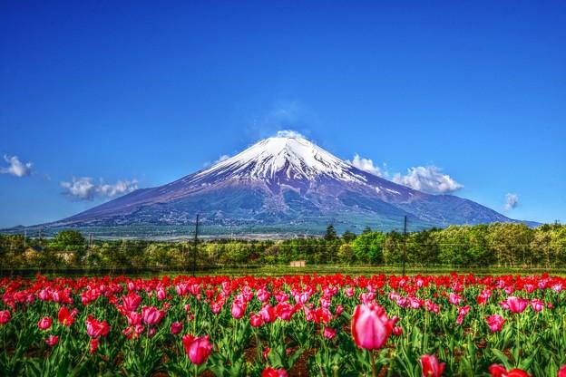 富士にはチューリップが良く似合う・・・(*´з`)