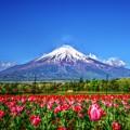 写真: 富士にはチューリップが良く似合う・・・(*´з`)