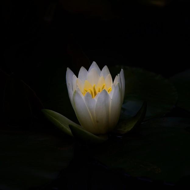 写真: 睡蓮の・・・花は夜開く