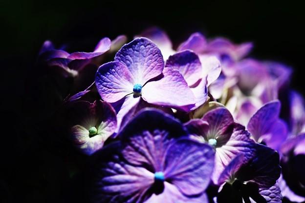 紫陽花の・・・花は夜開く