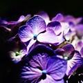 写真: 紫陽花の・・・花は夜開く