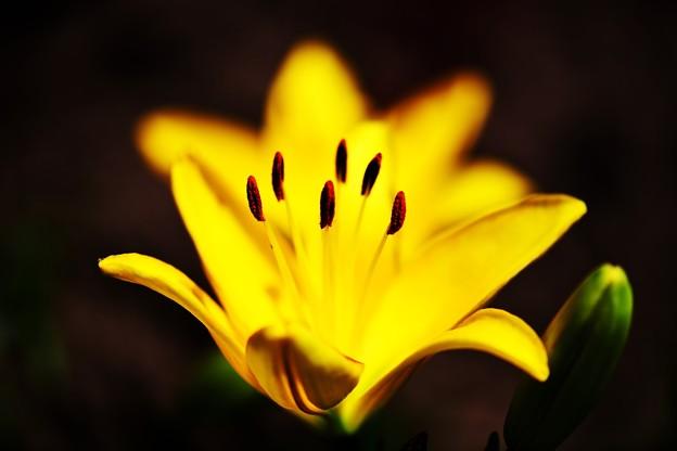 写真: 夕萓の・・・花は夜開く