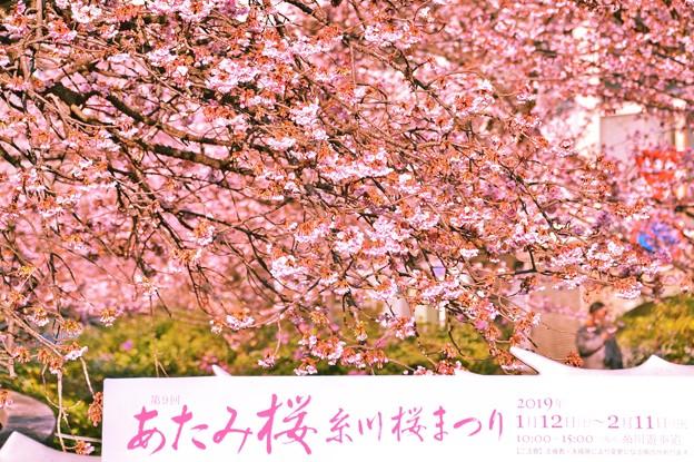 今年、最初の桜の華を・・・