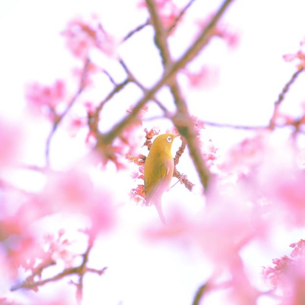 春の夢、朧げに咲き・・・