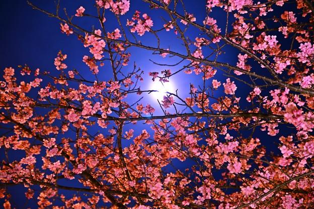 月夜の晩に・・・河津桜を撮る