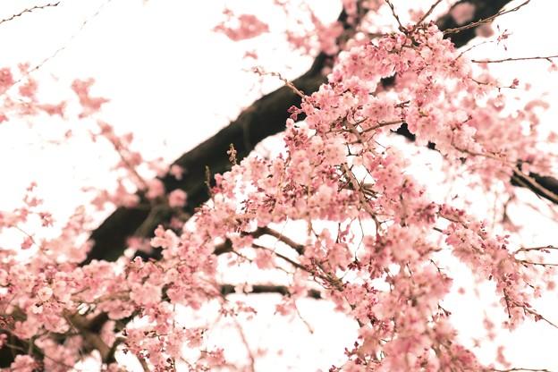 吹きこぼれるほど咲いていた たったひとりで ~龍源院 八十年桜~