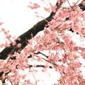 Photos: 吹きこぼれるほど咲いていた たったひとりで ~龍源院 八十年桜~