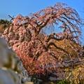 写真: 桜羅漢(さくらかん)~龍源院~