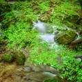 Photos: Green Forest ~青もみじの渓流~