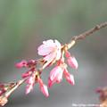 0005 桜1