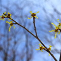 Photos: 春を告げる、小さな花