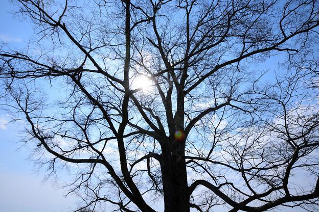 はるにれの木3