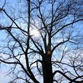 Photos: はるにれの木3