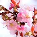 写真: 発寒川緑地の桜1
