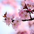 写真: 発寒川緑地の桜2