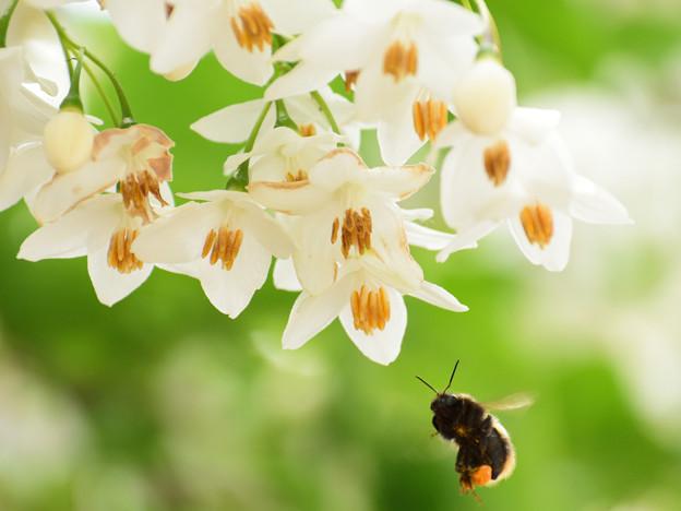 写真: 庭に咲くエゴノキ1