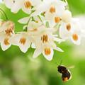 庭に咲くエゴノキ1