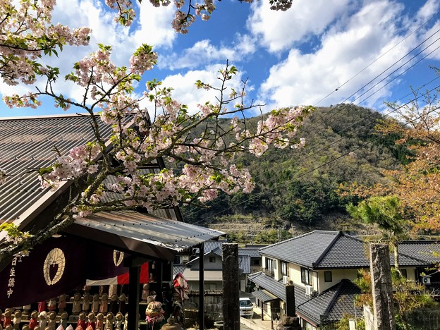 蓮華寺 参道の桜