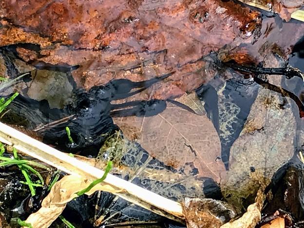 モリアオガエルのオタマジャクシかな