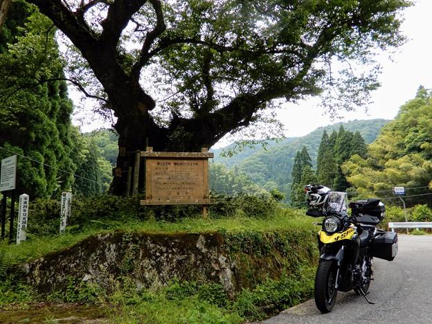 兵庫県最大のエドヒガン「おまき桜」