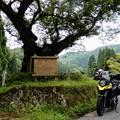 Photos: 兵庫県最大のエドヒガン「おまき桜」